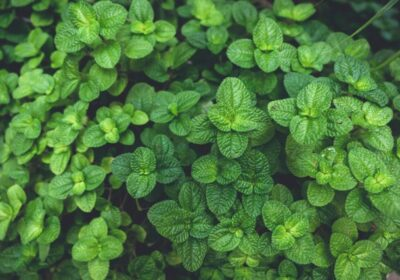 Simplified Ways To Raise the Perennial Herbs